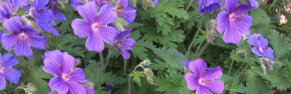 Geranium platypetalum