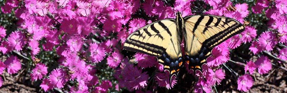 Two-tailed Tiger Swallowtail Nectaring on Dianthus