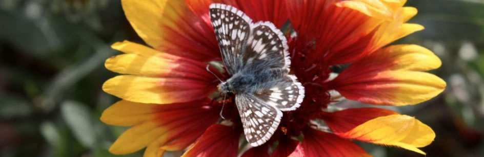 Common Checkered Butterfly on Blanketflower