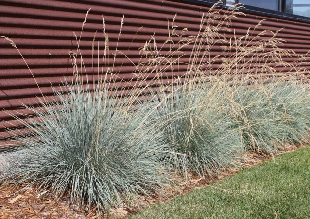 Common Ornamental Grasses Ornamental grasses excellent accent plant delicate flowers on long arching stems in the spring blake nursery favorite 2 3 see another image workwithnaturefo