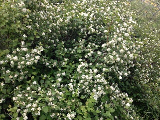 Montana native plants physocarpus malvaceus mallow ninebark mightylinksfo