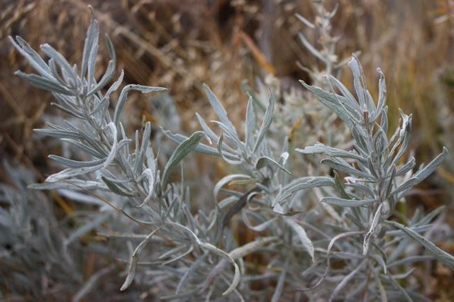 Montana Native Plants
