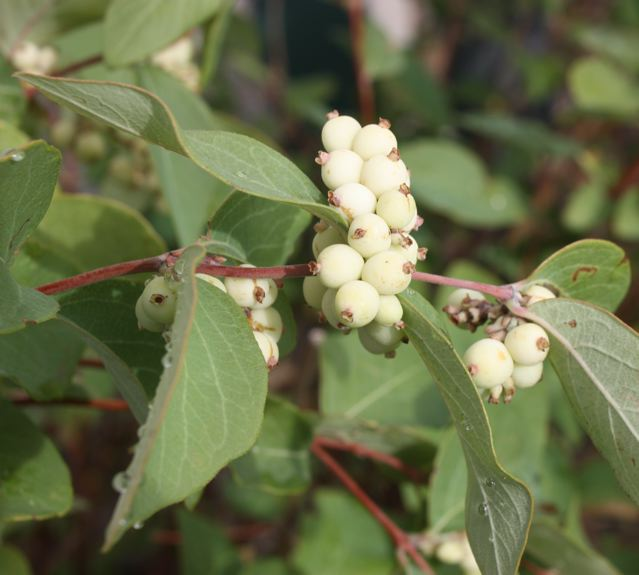 Montana native plants symphoricarpos albus white snowberry mightylinksfo