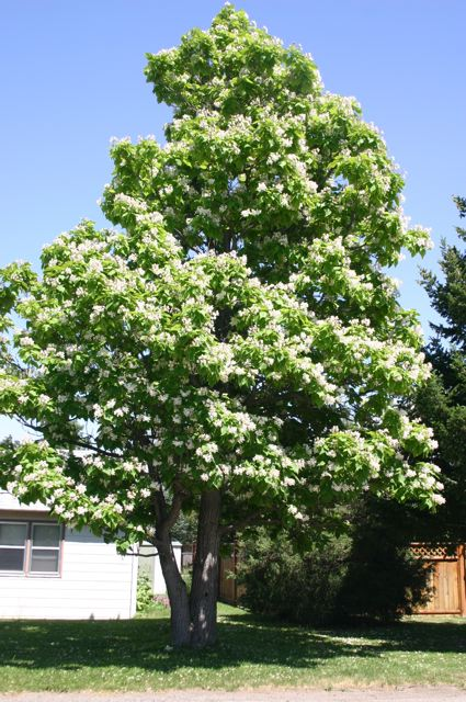 Upright Large Shade Tree White 2 Flowers In June Followed By Fruit Pods Summer Drought Tolerant 50 60 Available On Special Request