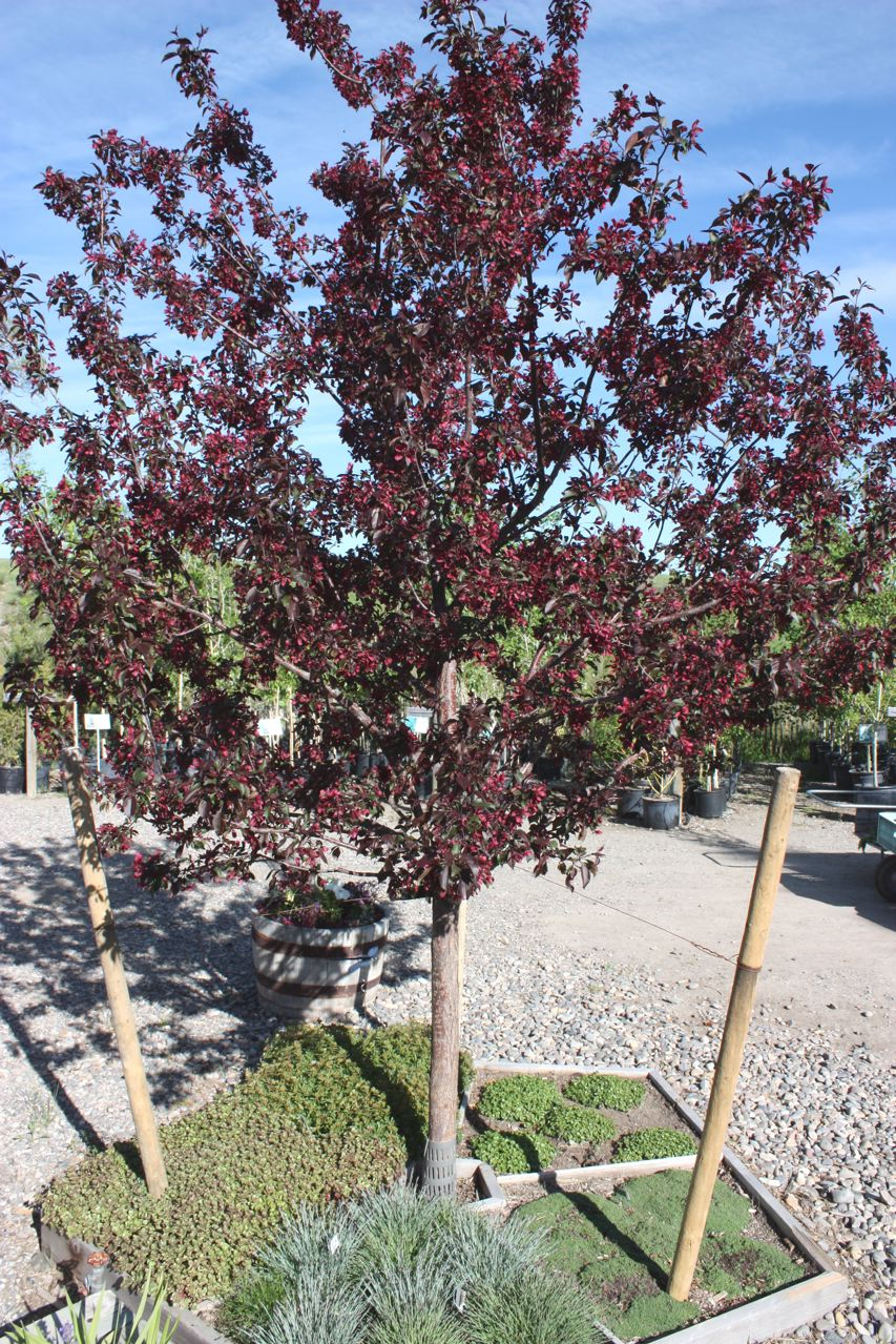 And Flowers Dark Red New Leaves Reddish Turn Purple With Green Undercast Persistent Fruit In Winter Truly A Splendid Tree Very Hardy 20
