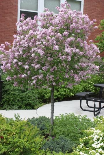 Trees for Small dwarf ornamental trees