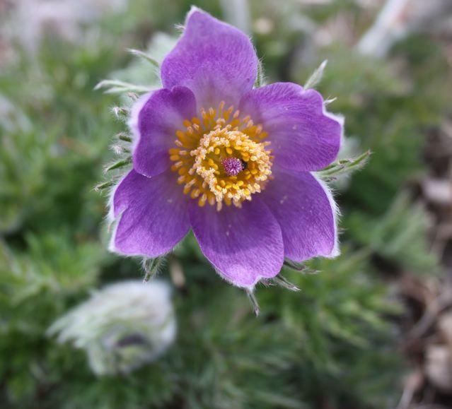 Montana Native Plants: Montana Native Plants