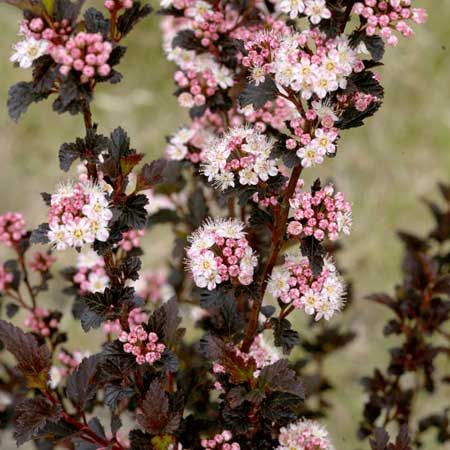 Shrubs whitish pink flowers in spring followed by red fruit in summer burgundy maroon summer foliage low maintenance pest free shrubs that provide excellent mightylinksfo