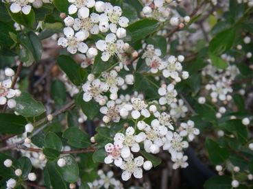 Shrubs white flowers in may followed by edible black berries used for cooking and appealing to birds leaves glossy green in springsummer turning a brilliant mightylinksfo