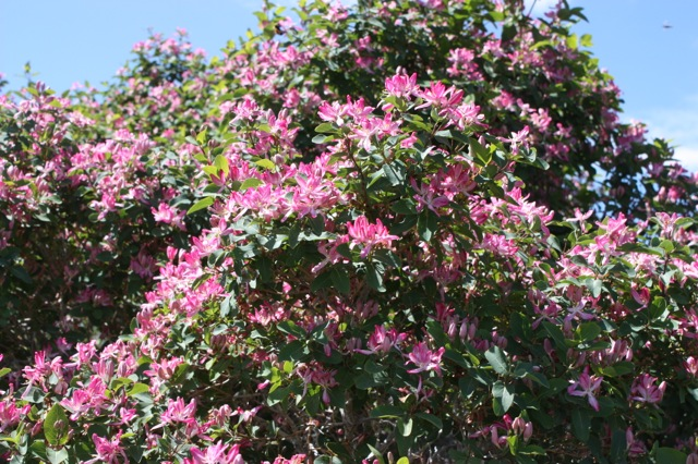 Shrubs pink tubular flowers in late spring followed by red berries easy to grow in most soils very hardy makes a wonderful hedge 8 mightylinksfo