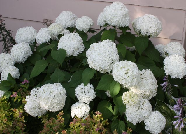 Hydrangea Annabelle Beautiful White Flowering Shrub That Thrives In Shade Large Flowers Bloom From Mid Summer To Frost Low Growing With Rounded Shape
