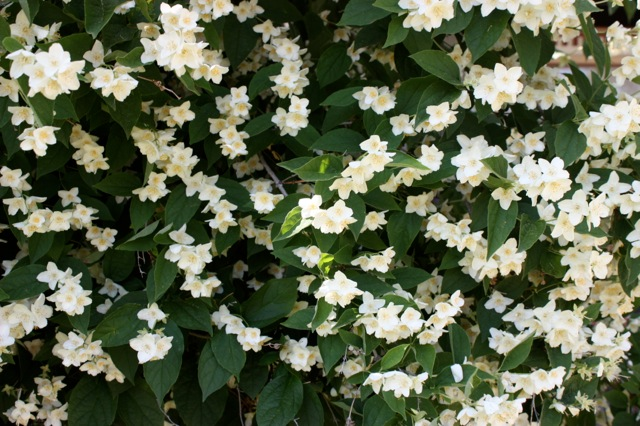 Shrubs their white extremely fragrant flowers and hardiness blizzard a selection of our native lewis mockorange philadelphus lewisii blooms profusely mightylinksfo