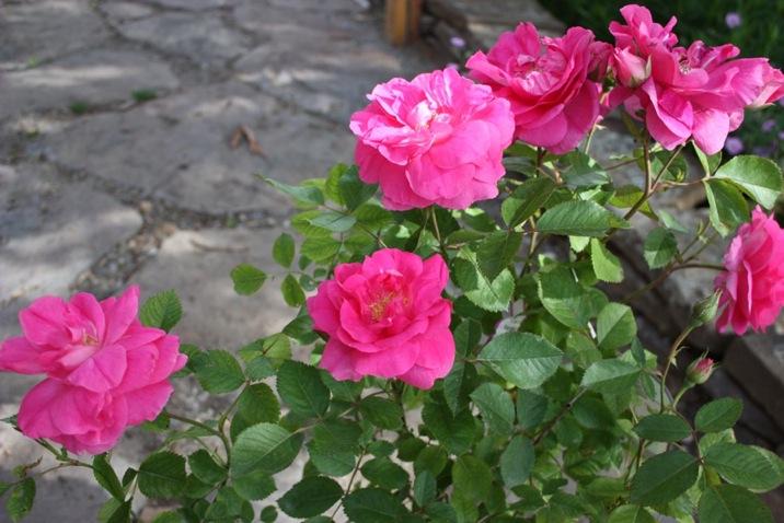 Rose, Morden Centennial