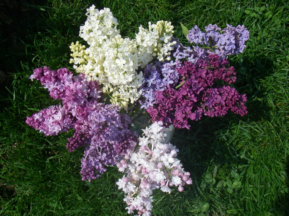 French Hybrid Lilacs